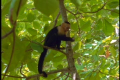 Medium-shot of a Amazon rainforest Spider monkey in a tree. Stock Footage