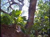 Stock Video Footage of Medium-shot of a Amazon rainforest Spider monkey in a tree.