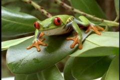 Extreme close-up of bright green red-eyed tree frog. Stock Footage