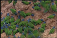 Medium-shot of wild parrots swarming around a nesting area in the Amazon Stock Footage