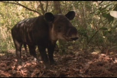Medium-shot of a Brazilian tapir in the Amazon rainforest. Stock Footage