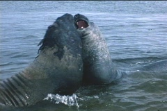 Elephant seals tussle for dominance on the Falkland Islands. Stock Footage