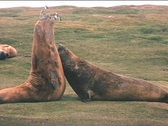 Stock Video Footage of Elephant seals tussle for dominance on the Falkland Islands.