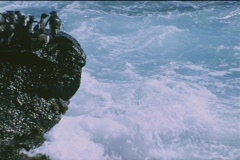 Rockhopper penguins jump off the rocks into the ocean at the Falkland Islands. Stock Footage