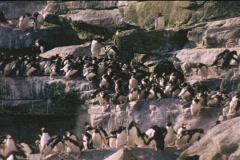 Rockhopper penguins descend cliffs on the Falkland Islands. Stock Footage