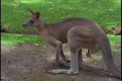 A kangaroo observes its surroundings. Stock Footage