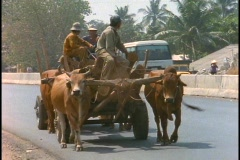 Oxen pull a cart in rural Vietnam. Stock Footage