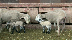 Sheep lambing shed with newborn baby M HD Stock Footage