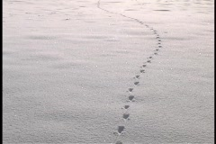 Animal tracks form a line in the snow. Stock Footage