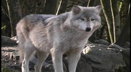 Stock Video Footage of A gray wolf stands and guards its territory.