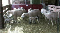 Sheep Ewes and Lambs M HD Stock Footage