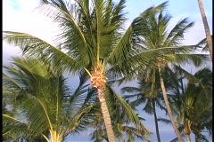 Hawaiian palmuja aalto tuulessa. Arkistovideo