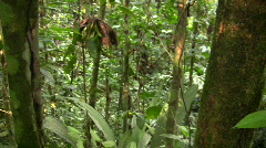 Curare vine (Chondrodendron tomentosum)  Stock Footage