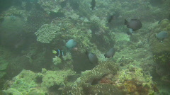 Stock Video Footage of Clarks anemonefish, Amphiprion clarkii in an anemone in the Philippines