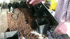 Artichoke plants in new pot Stock Footage