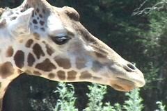 A giraffe licks its lips. Stock Footage