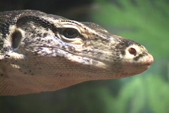 A lizard tests the air with its tongue. Stock Footage
