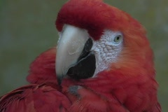 A beautiful red parrot opens its beak and shows its black tongue. Stock Footage