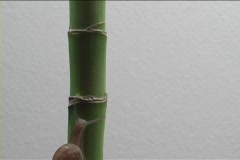 A snail crawls up a bamboo stalk. - stock footage