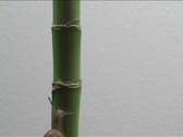 A snail crawls up a bamboo stalk. Stock Footage