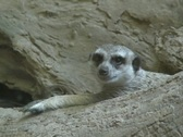 Meerkat watching and yawn Stock Footage