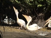 Pelican Family1  Stock Footage