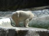 Polar Bear  Stock Footage
