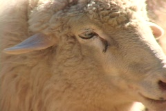 A white sheep looks around. Stock Footage