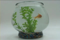 A goldfish swims in a fishbowl. Stock Footage