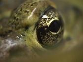 Stock Video Footage of A close-up shot of green skin and a large brown eye.