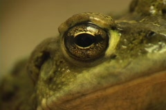 A close-up shot of the side view of a green frog's head. Stock Footage