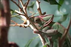 Time-lapse footage of a chameleon on a branch focuses on its fascinating Stock Footage
