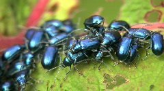 Leaf beetles (Chrysomelidae) defoilating a Gunnera plant Stock Footage