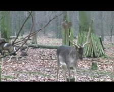 Deer Stock Footage