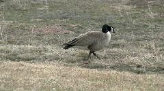 Canadian Goose walking M HD Stock Footage
