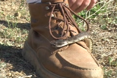 A large rattlesnake slithers over a brown hiking boot. Stock Footage
