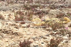 A yellow scorpion crawls across the ground and attacks the camera. Stock Footage