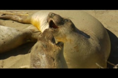 Sea lions gather on a beach. Stock Footage