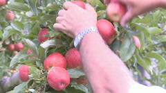 Apple harvest - stock footage