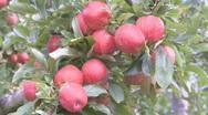Apple harvest Stock Footage