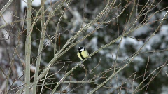 Bird (Great Tit) sitts on a twig in winter, then it flies away Stock Footage