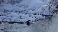 White-Throated Dipper on a cold day at a small river in winter Stock Footage