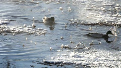 Mallard ducks on a cold day at a small river in winter Stock Footage
