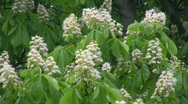 Chestnut blossom in the wind Stock Footage