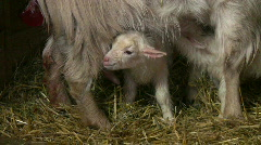 Newborn goat wobble Stock Footage