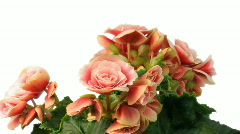 Time-lapse growing and blooming pink begonia flower isolated white 1 Stock Footage