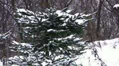 Fur-trees in snow panning Stock Footage