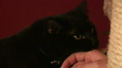 HD1080i Black cat playing with woman´s hand indoor Stock Footage