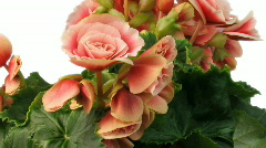 Time-lapse growing and blooming pink begonia flower isolated white 3 Stock Footage