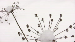 Umbrellas of plants covered by snow in snowdrift Stock Footage